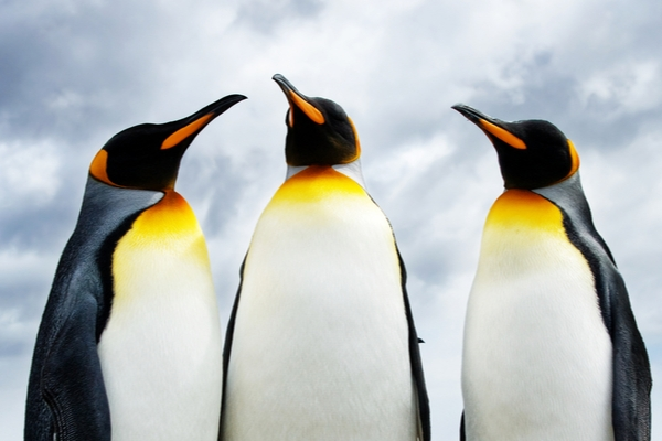A row of three emperor penguins