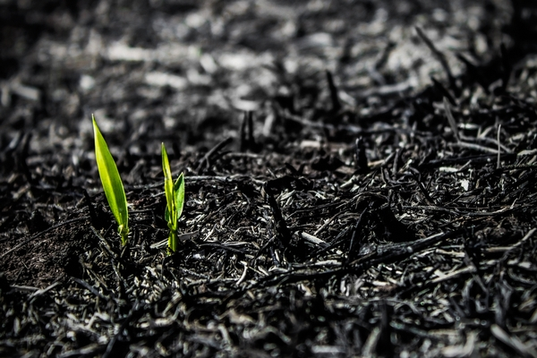 Green shoots growing from ashes